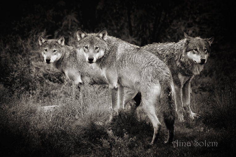 Aina Solem wolves photography black and white ulver norske ulver norsk ulv